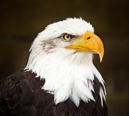 Portrait of Bald eagle (Haliaeetus leucocephalus)
