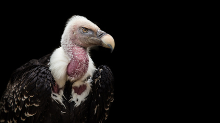 A Ruppells Griffon Vulture (Gyps rueppellii), portrait, close-up, isolated on gray background. Фото со стока
