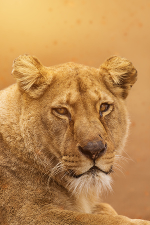 Portrait of a female lion starring.