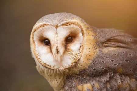 A beautiful barn owl, close-up.