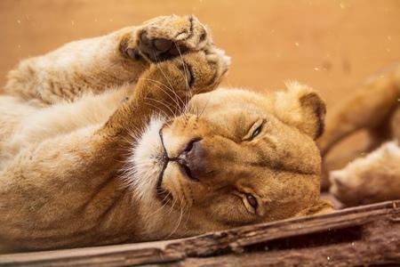 Portrait of a female lion resting. Standard-Bild