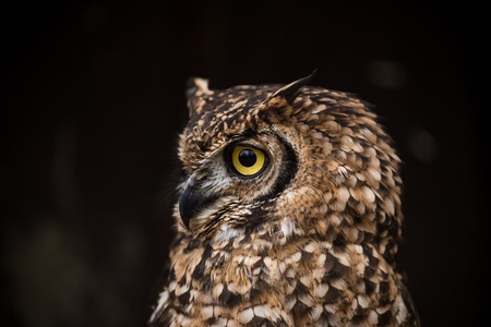 Portrait of eagle owl with dark background.