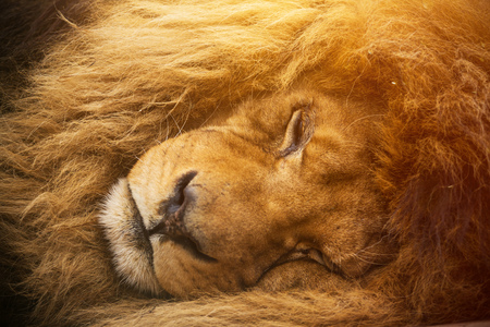 Portrait of a male lion resting.