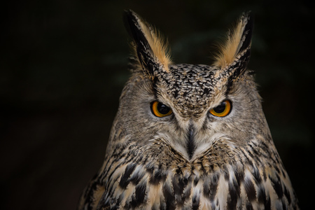 A Long-eared Owl (Asio otus) portrait with dark background.