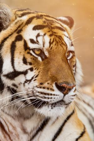 Close up of a Siberian tiger (Panthera tigris altaica). 스톡 콘텐츠