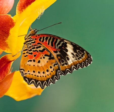 Monarch butterfly (Danaus plexippus) on thunbergia mysorensis. 版權商用圖片