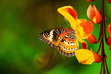 Monarch butterfly (Danaus plexippus) on thunbergia mysorensis, close-up.