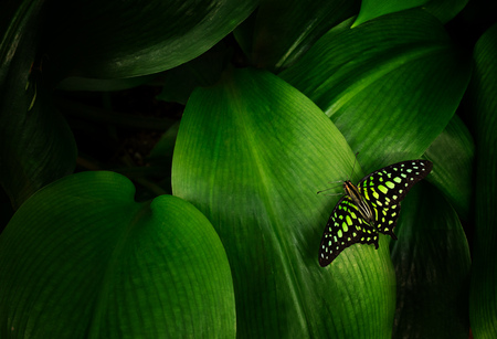 Graphium agamemnon on green leaf, close-up. Stock Photo