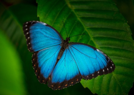 Blue morpho (morpho peleides) on green nature background, close-up. Stockfoto