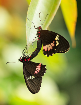 Butterfly Heliconius Hacale zuleikas mating in nature habitat. Wildlife in the forest