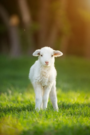 cute little lamb on fresh spring green meadow during sunrise 免版税图像