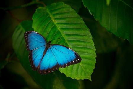 Morpho bleu (morpho peleides) sur fond de nature verte.
