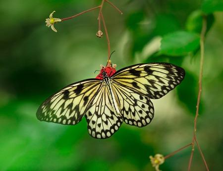 Paper kite (idea leuconoe) in primeval forest.