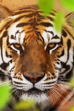 Close up of a Siberian tiger (Panthera tigris altaica). Stock Photo