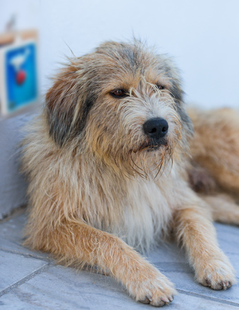 Homeless shaggy dog lying at the entrance to the shop on the street in Oia. Santorini (Thira) island. Stock fotó