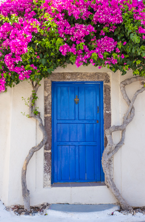 Beautiful blooming bougenvilia in old village Emporio on the island of Santorini in Greece.