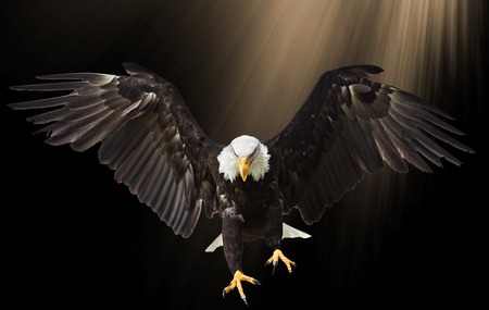 Bald Eagle flying on black background. Banque d'images