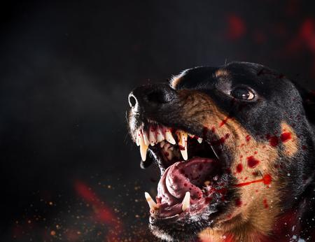 Féroce Rottweiler aboyant fou sur fond noir.