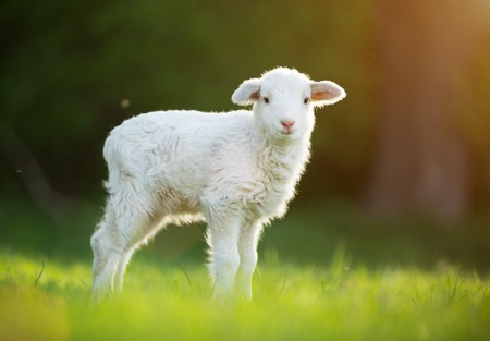 cute little lamb on fresh green meadow