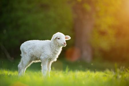 carino piccolo agnello sul prato verde fresco