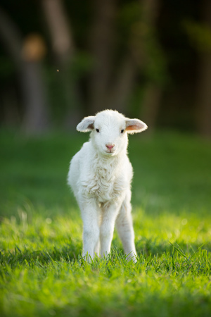 cute little lamb on fresh spring green meadow during sunrise Stockfoto