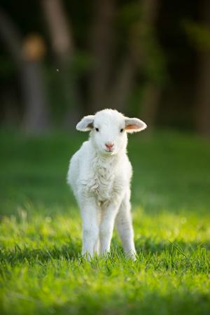 Mignon petit agneau sur pré vert printemps frais pendant le lever du soleil Banque d'images