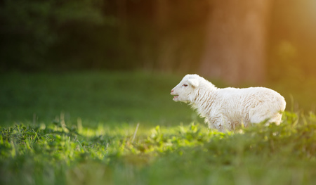 cute little lamb on fresh spring green meadow during sunrise Stock Photo