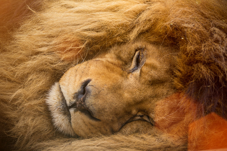 Portrait of a female lion with golden mane resting, close-up.