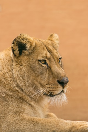 Portrait of a female lion looking into the camera. Stock Photo