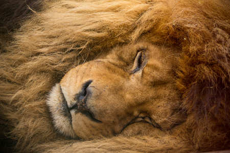 Portrait of a male lion with golden mane resting, close-up.