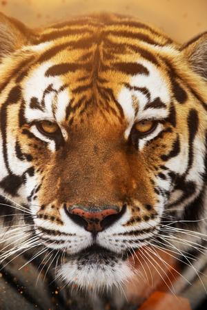 Close up view of a Siberian tiger (Panthera tigris altaica)