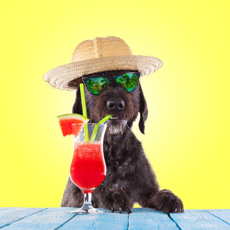 Black mutt dog posing on yellow background with water melon cocktail. Foto de archivo
