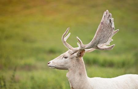 Portrait of white deer on a meadow. Фото со стока