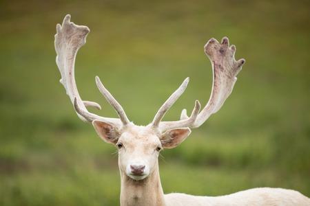 Portrait of white deer on a meadow.