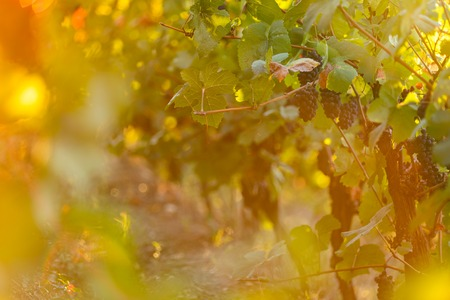 Bunch of grapes on a vineyard during sunset. The winegrowers harvest.