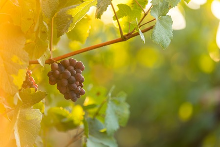 Bunch of grapes on a vineyard during sunset. Imagens
