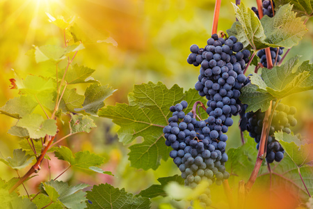 Bunch of grapes on a vineyard during sunset. Stok Fotoğraf