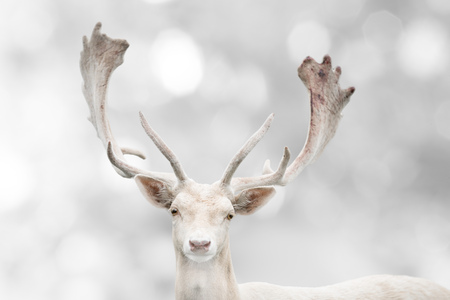 Portrait of white fallow deer in winter time. Stock Photo - 113142332