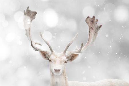 Porträt von weißen Damwild in der Winterzeit. Standard-Bild