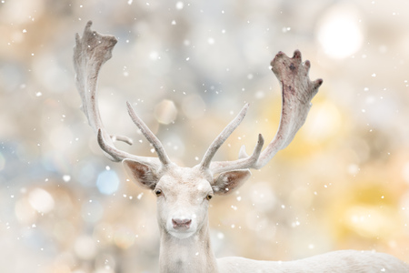 Portrait of white fallow deer in winter time. Stock Photo - 113142331