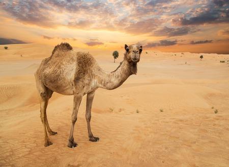 Chameaux du Moyen-Orient dans un désert Banque d'images