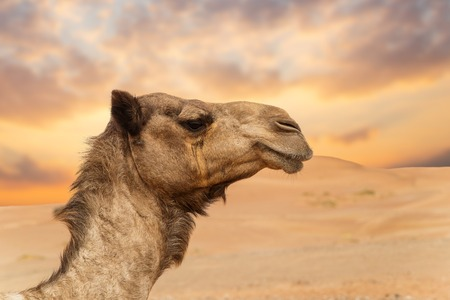 Middle eastern camels in a desert