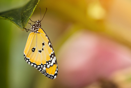 Beautiful Plain Tiger butterfly (Danaus chrysippus) perching on flower.