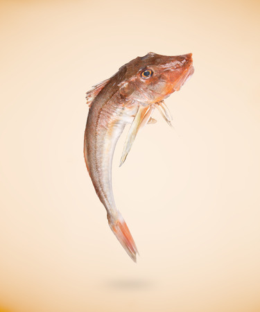 Fresh red Tub gurnard fish on beige background