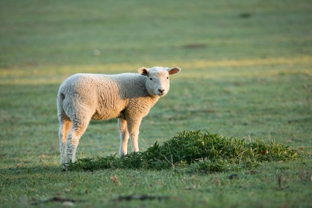 Cute little lambs on fresh green meadow Stock Photo