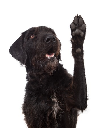 Black mixed breed dog showing paw isolated on white
