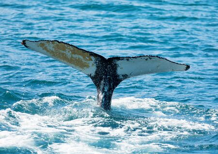 huge humpback whale seen from the boat near capital of whales Husavik, Iceland Stok Fotoğraf