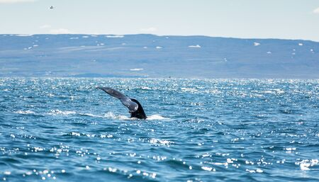 huge humpback whale seen from the boat near capital of whales Husavik, Iceland Stock Photo