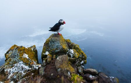 Puffin on the rocks at latrabjarg Iceland.