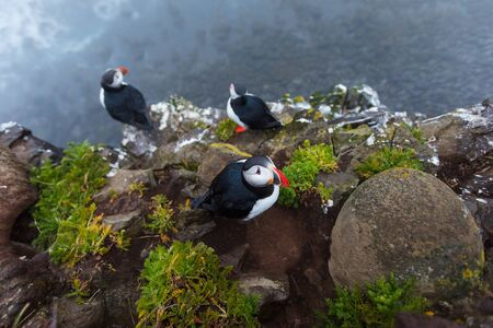 Puffins on the rocks at latrabjarg Iceland.